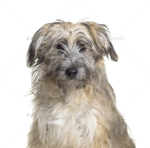 Close-up of a Pyrenean Shepherd, Dog, pet, studio photography, cut out - Stock Photo - Images