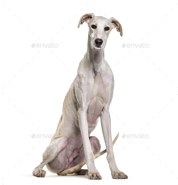 Spanish greyhound dog sitting, cut out - Stock Photo - Images