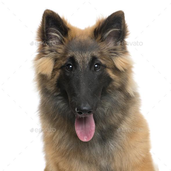 Close-up of a Belgian Shepherd dog panting, cut out - Stock Photo - Images