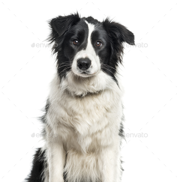 Border Collie dog sitting, cut out - Stock Photo - Images