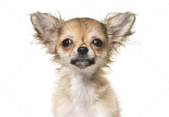 Close-up of chihuahua dog, cut out - Stock Photo - Images