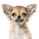 Close-up of chihuahua dog, cut out - PhotoDune Item for Sale