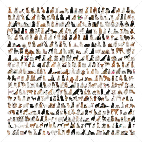 Large group of dog breeds in front of a white background - Stock Photo - Images