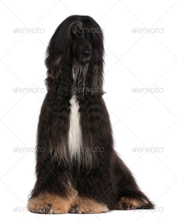 Afghan Hound, 4 years old, sitting in front of white background - Stock Photo - Images