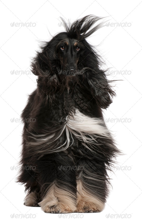 Afghan Hound with his hair in the wind, 4 years old, sitting in front of white background - Stock Photo - Images