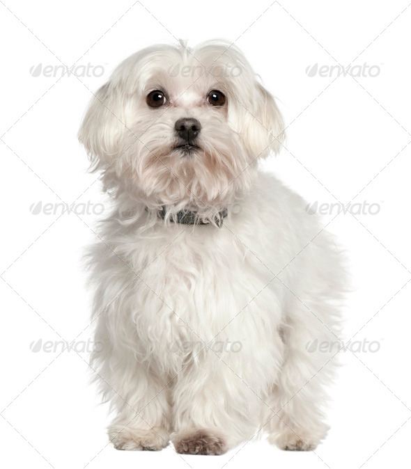 Maltese dog, 11 years old, standing in front of white background - Stock Photo - Images