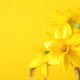 Yellow Daffoldils on Yellow Background. - PhotoDune Item for Sale