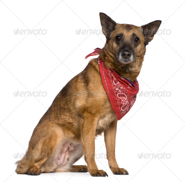 Mixed-breed dog wearing handkerchief, 14 years old, sitting in front of white background - Stock Photo - Images