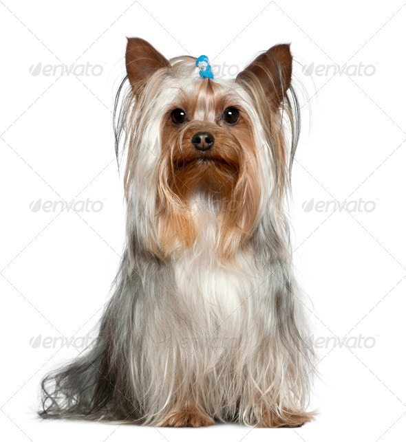 Yorkshire terrier, 1 and a half years old, sitting in front of white background - Stock Photo - Images