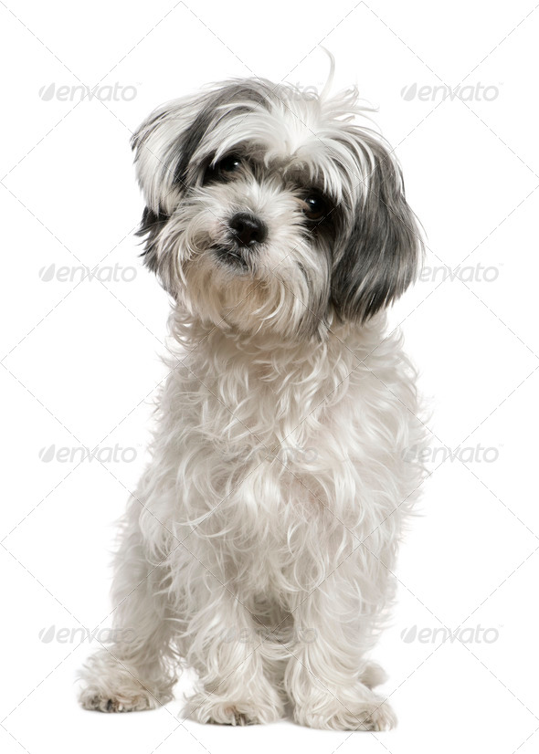 Maltese dog mixed with a Shih Tzu, 3 years old, sitting in front of white background - Stock Photo - Images