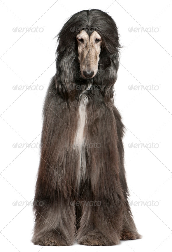 Afghan hound, 7 years old, in front of white background - Stock Photo - Images