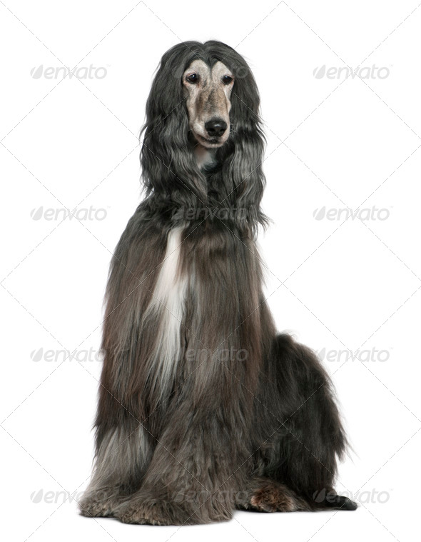 Afghan hound, 7 years old, sitting in front of white background - Stock Photo - Images