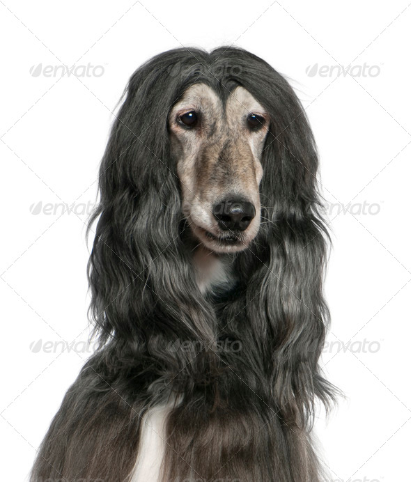 Close-up of Afghan hound, 7 years old, in front of white background - Stock Photo - Images