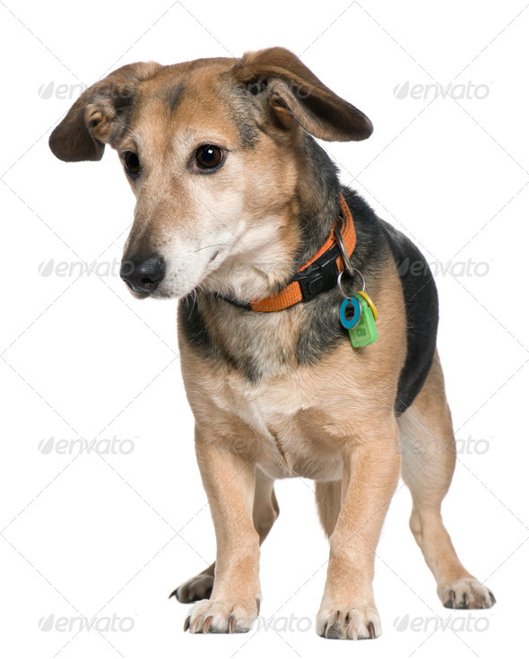Mixed-breed dog, 7 years old, standing in front of white background - Stock Photo - Images