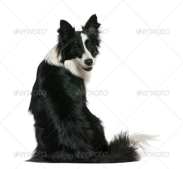 Border Collie, 16 months old, sitting in front of white background - Stock Photo - Images