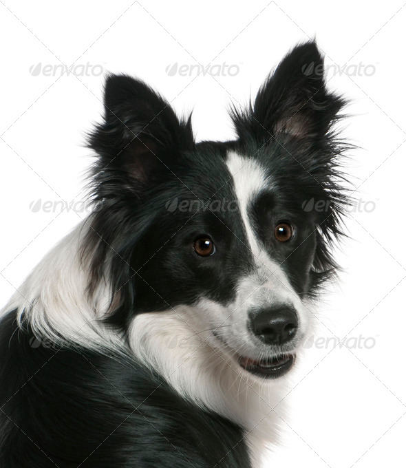 Close-up of Border Collie, 16 months old, in front of white background - Stock Photo - Images