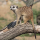 Meerkat Or Suricate Is A Small Carnivoran Belonging To The Mongoose Family. - PhotoDune Item for Sale