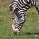 African Beautiful Zebra Eating Fresh Green Grass. - PhotoDune Item for Sale