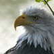Bald Headed Eagle, Close Up Shot With Blurred Background. - PhotoDune Item for Sale