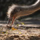 Ostrich Close-up In The Sand Looking For Food. - PhotoDune Item for Sale
