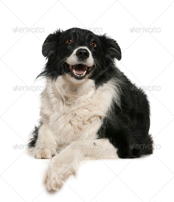 Border Collie, 9 years old, lying in front of white background - Stock Photo - Images