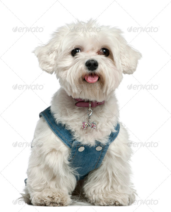 Maltese dog, 3 years old, sitting in front of white background - Stock Photo - Images