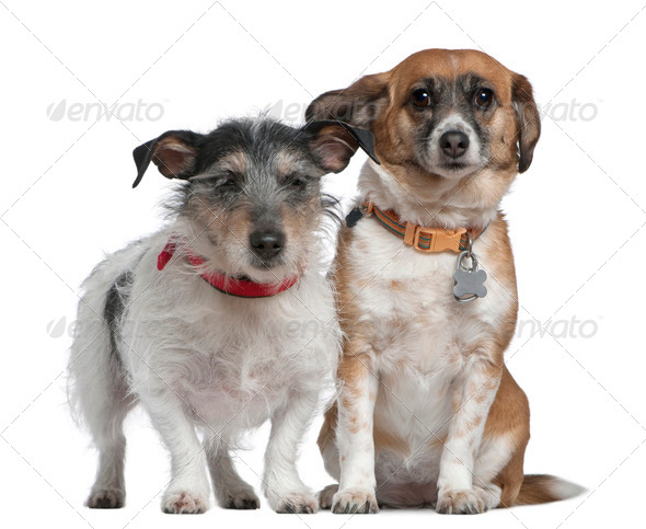Jack Russell Terrier and Mixed-breed dog, 7 years old and 8 years old, in front of white background - Stock Photo - Images