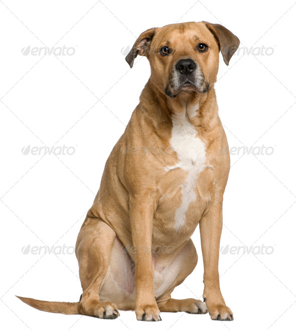 Mixed American Staffordshire Terrier, 6 years old, sitting in front of white background - Stock Photo - Images