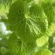 Fresh green wasabi plant - PhotoDune Item for Sale