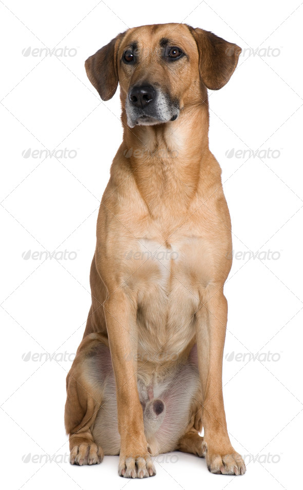 Mixed Malinese dog, 6 years old, sitting in front of white background - Stock Photo - Images
