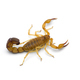 African venom Scorpion isolated on white background - PhotoDune Item for Sale