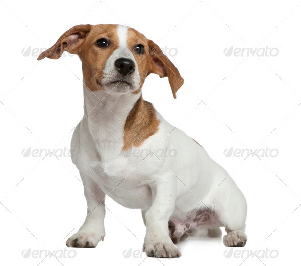 Jack Russell Terrier, 5 months old, sitting in front of white background - Stock Photo - Images