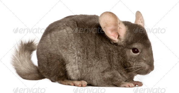 Chinchilla, 1 year old, in front of white background - Stock Photo - Images