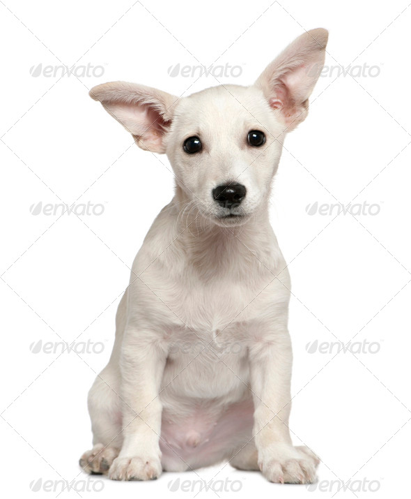 Mixed-breed puppy, 3 months old, sitting in front of white background - Stock Photo - Images