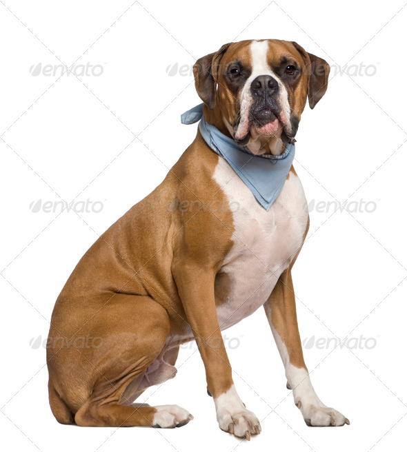 Boxer wearing handkerchief, 2 years old, sitting in front of white background - Stock Photo - Images