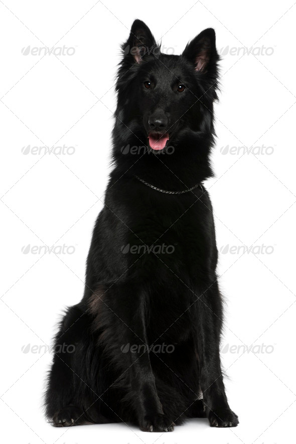 Belgian Shepherd dog, Groenendael, 21 months old, sitting in front of white background - Stock Photo - Images