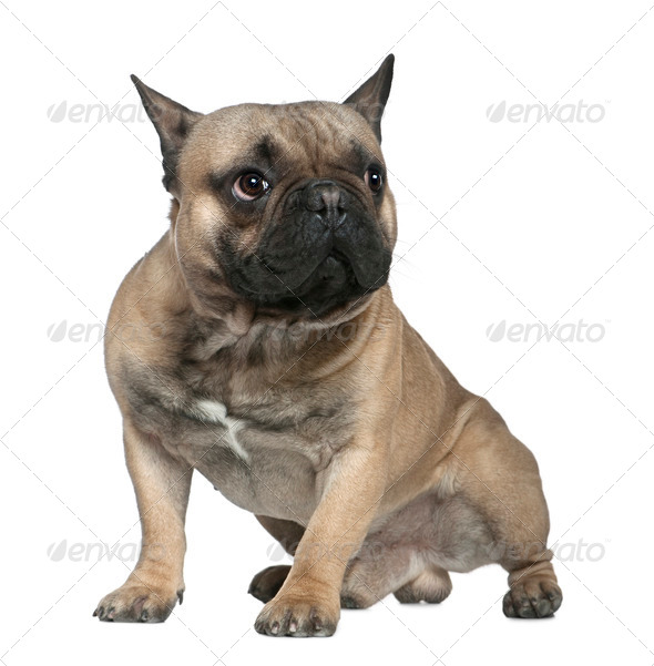 French bulldog, 1 and a half years old, sitting in front of white background - Stock Photo - Images
