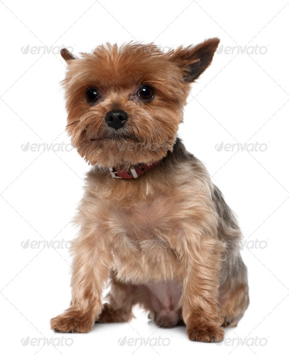 Yorkshire Terrier, 8 years old, sitting in front of white background - Stock Photo - Images