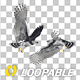 Two Harpy Eagles - Flying Round Loop - VideoHive Item for Sale
