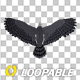 Harpy Eagle - Flying Loop - Back View - VideoHive Item for Sale