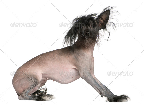 Chinese hairless crested dog, 2 and a half years old, in front of white background - Stock Photo - Images
