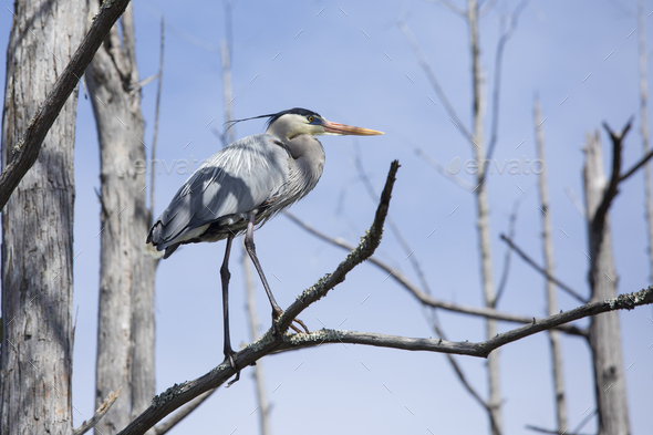 Great blue heron (ardea herodias) perched in a tree in the Okefenokee swamp of Georgia, USA. - Stock Photo - Images