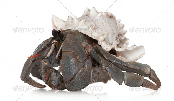 Hermit crab against white background - Stock Photo - Images