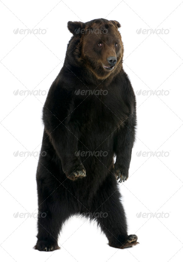 Siberian Brown Bear, 12 years old, standing in front of white background - Stock Photo - Images