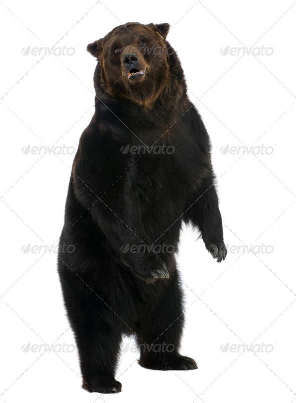 Siberian Brown Bear, 12 years old, standing upright against white background - Stock Photo - Images