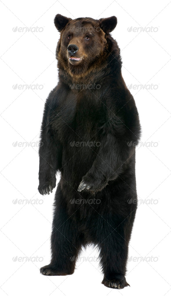 Female Brown Bear, 12 years old, standing in front of white background - Stock Photo - Images