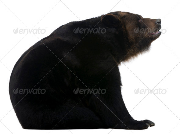 Female Siberian bear, 12 years old, in front of white background - Stock Photo - Images