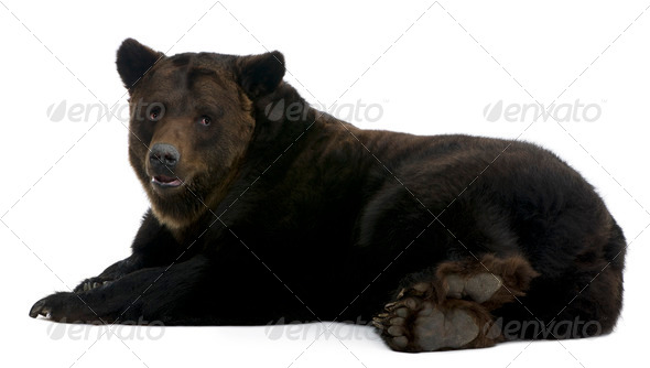 Siberian Brown Bear, 12 years old, lying in front of white background - Stock Photo - Images