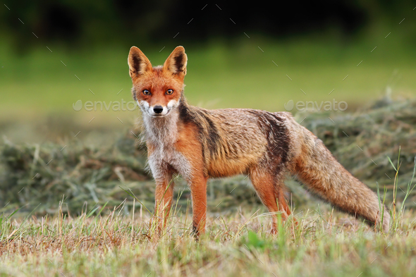 Attentive red fox facing camera on a freshly harvested hay field in summer - Stock Photo - Images