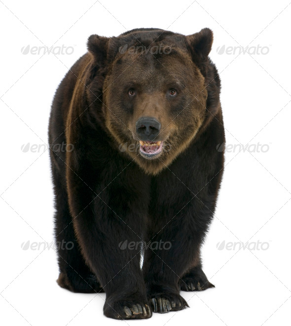 Siberian Brown Bear, 12 years old, walking against white background - Stock Photo - Images